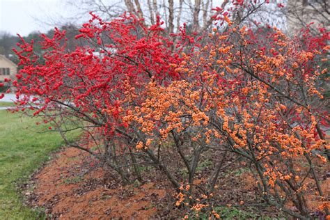 Types Of Backyard Birds Winterberry The Nature Of Delaware