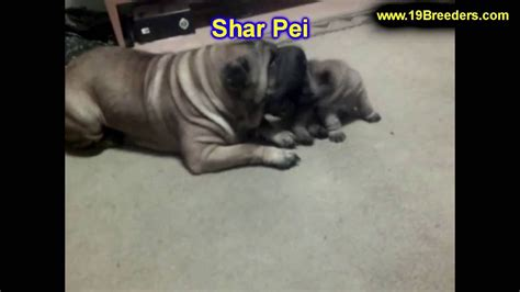 shar pei puppies for sale craigslist shar pei puppies dogs for sale in albuquerque new mexico nm 19breeders