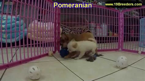 pomeranian puppies for sale sc pomeranian puppies dogs for sale in columbia south carolina sc mount pleasant