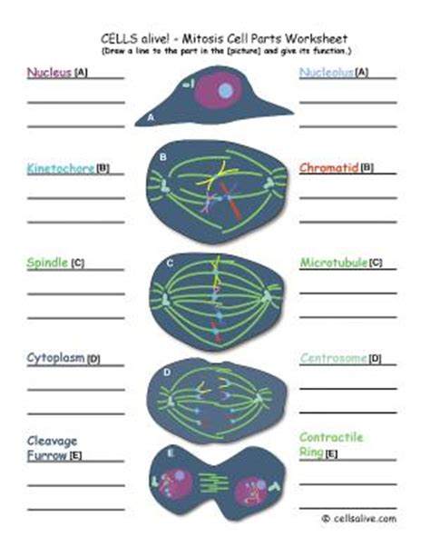 Cells Alive Mitosis Worksheet Answers by Lifescitrc Org Cells Alive Mitsosis Cell Parts Worksheet