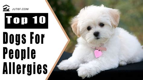 best dogs that dont shed top 10 dogs that don t shed much for with