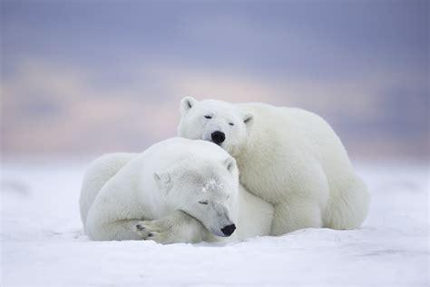 polar bears cuddling  retina ultra hd wallpaper