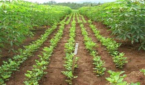 Benih Kacang Panjang Terbaik pengaturan jarak tanam ubikayu dan kacang tanah untuk
