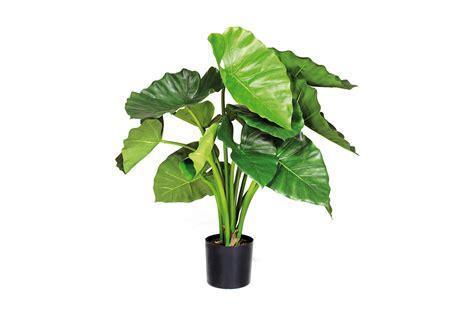 l alocasia une plante verte d 233 corative le de ping
