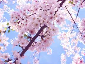 cherry blossom color beautiful pink cherry blossom wallpaper colors wallpaper