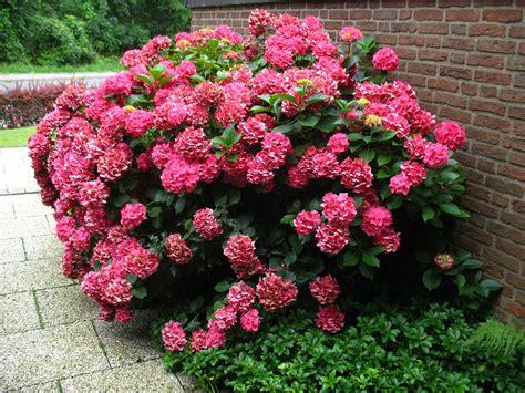 Lidl Garten Pflanzen by Gartenhortensie Rot Bl 252 Hend 1 Pflanze Lidl Deutschland