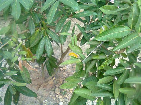 Bibit Kelengkeng Cangkokan 4 jenis pohon kelengkeng bangkok unggul untuk bibit guru