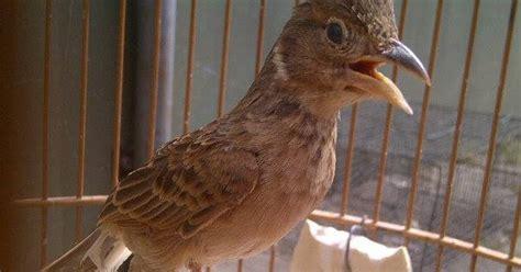 Pakan Kesukaan Branjangan jovanlia bird farm trik branjangan bahan agar cepat bunyi