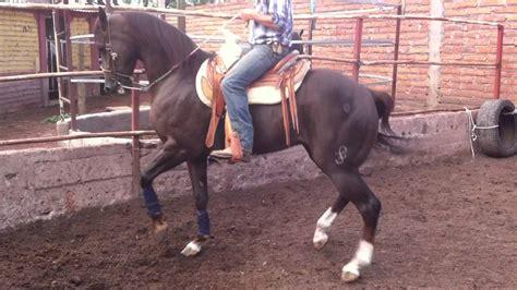 caballos cuarto de milla venta mercadolibre argentina bonito cuarto de milla en venta im 225 genes garza mora
