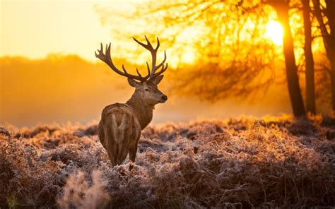 full hd p stag backgrounds  hd wallpaper pictures