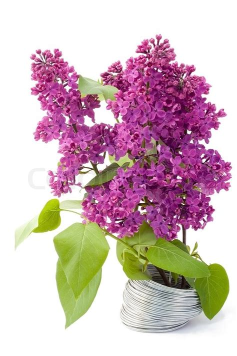 the branch of a purple lilac grows from a steel wire a