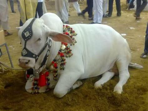 pakistani cow qurbani cow pics in pakistan eid ul adha cow pictures