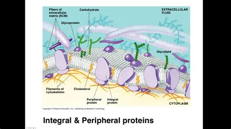 ap biology membrane structure  cell dynamics full