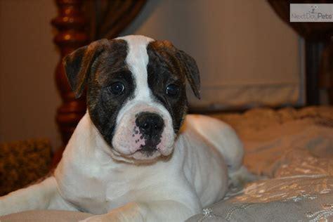 american bulldog puppies for sale in va american bulldog puppy for sale near new river valley virginia 72972628 1681