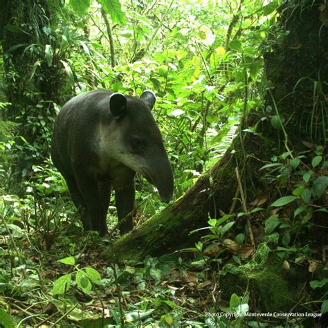 Protection For Weirdest Species by Tapirs Are Probably Some Of The Weirdest Animals You