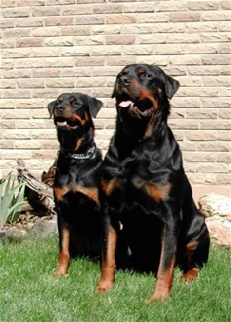 what were rottweilers bred to do rottweiler breed infomation