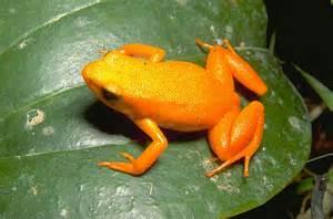 Golden Frog Mbg Madagascar Biodiversity And Conservation Golden Frog