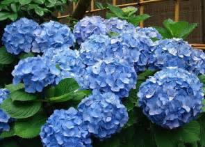 Books On Container Gardening - pruning hydrangea varieties hydrangea care tips the