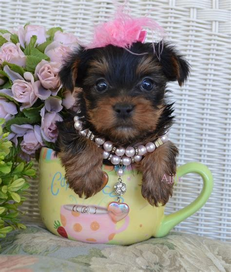 teacup yorkie puppies for sale in pittsburgh 1000 images about teacup yorkie on micro teacup puppies morkie puppies