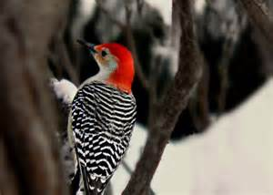 Woodpecker bird photography red belliedblack and white