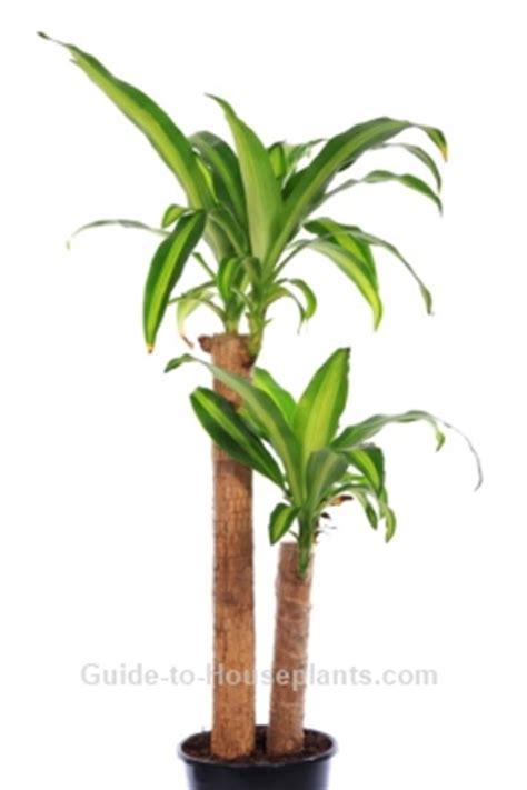 common tree like houseplants corn plant care tips dracaena fragrans massangeana