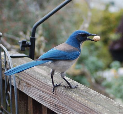 farewell western scrub jay feederwatch