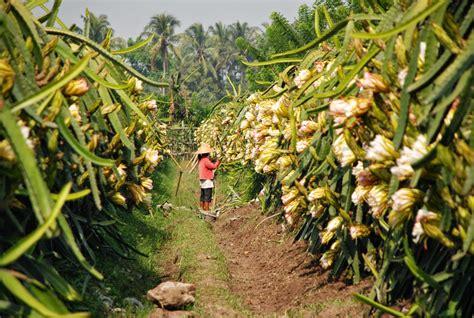 Pupuk Dasar Dolomit pemupukan tanaman buah naga petani hebat