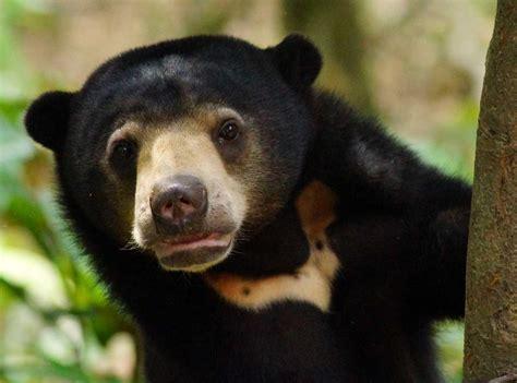 malayan sun bear bile trade threatens  worlds