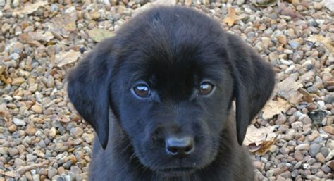 black lab puppies for sale in nh community educational meet officer benvenuti canine partner cora 2017 02 01 19 00