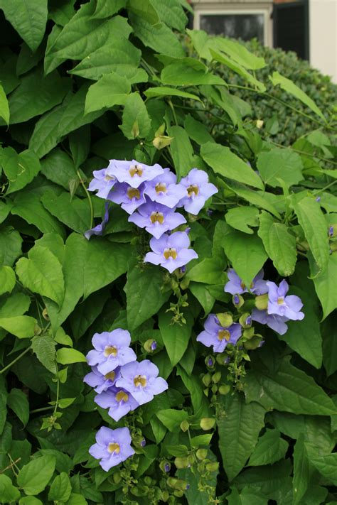Blus Vinzo sky flower state by state gardening web articles