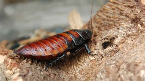 do roaches eat bed bugs what do cockroaches eat and how do they survive termites blog