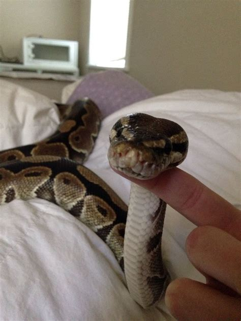 27 best reptiles and hibians images on pinterest 17 best images about inspiration snakes on pinterest