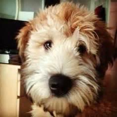 cute cuts for wheaten terriers newest breed on my list tibetan terrier l animalia