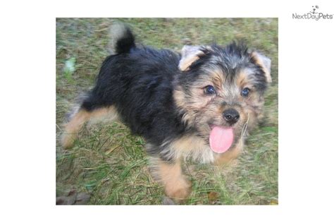 akc puppies for sale near sioux city south dakota akc marketplace silky terrier puppies for sale silky terrier puppies for sale by expert breeders
