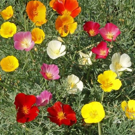 california poppy mixed colors seeds