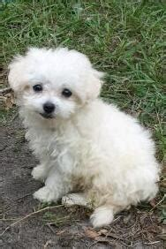 wral classified dogs maltipoo breeders near raleigh nc breeds picture
