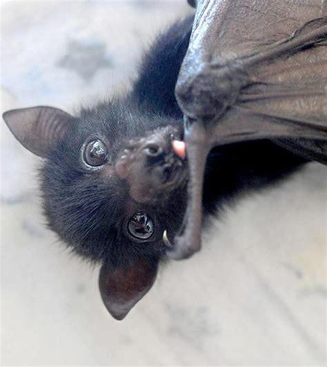 fruit bat pet bat on