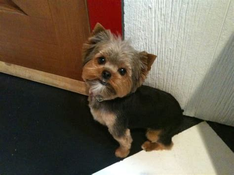 yorkie round face cut trim face hair on yorkie how to trim yorkies face
