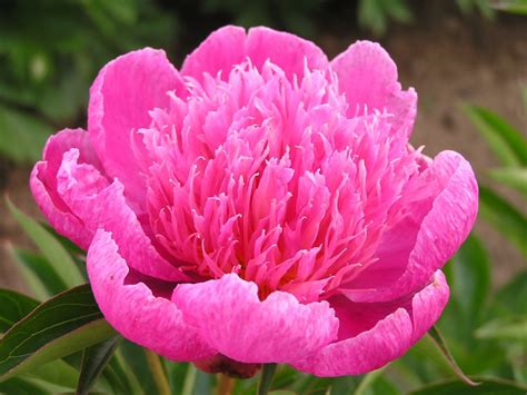 Kelways Peony Nursery peony on pinterest paeonia lactiflora tree peony and