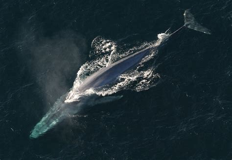 Who Sings For Blues How Blue Whales Became Ingredients In - scientists hunt singing blue whales echonetdaily