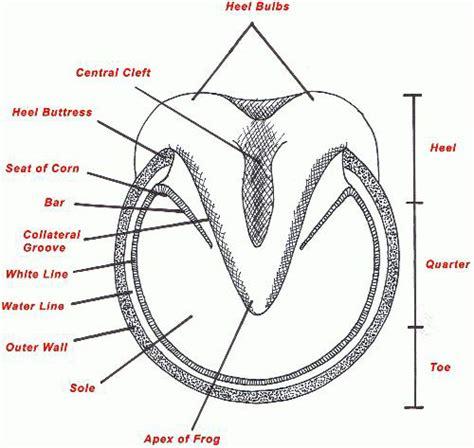 hoof diagram hoof diagram wallpaper