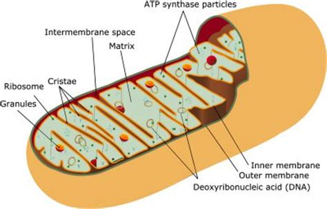 simple diagram of mitochondria the function of mitochondria magnesium and health