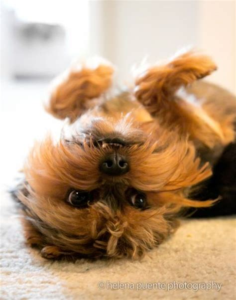 yorkie brussels griffon bogie yorkie brussels griffon mix hypoallergenic apartment dogs