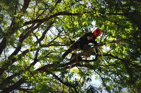 trees denver tree trimming denver denver arborist fielding tree and