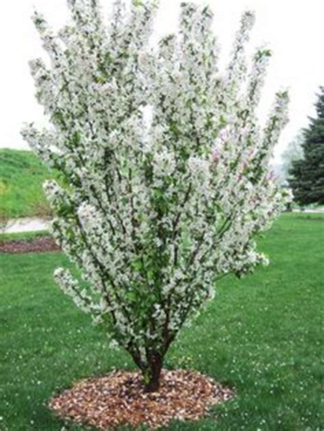 1000 images about trees and shrubs yards on - Narrow Flowering Shrubs