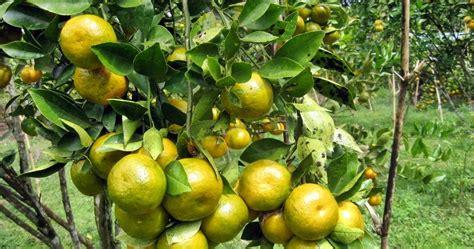 Pohon Jeruk mengenal hama tanaman budidaya jeruk