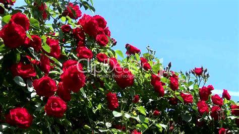 Garten Blumen Pflanzen 1734 by Rote Strauchrosen Lizenzfreie Stock Und