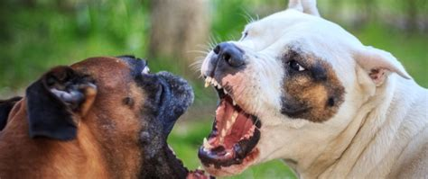 how to an aggressive puppy how to recognize true aggression