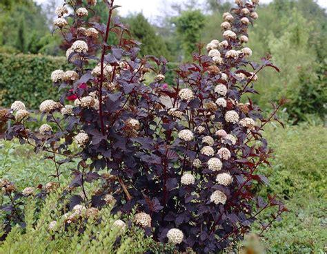 physocarpus opulifolius diabolo ninebark - Physocarpus Opulifolius Diabolo