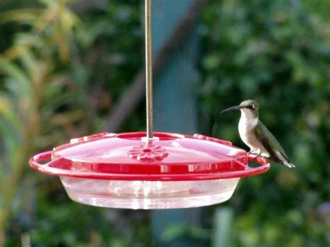 wild birds unlimited i heard hummingbirds migrate on the